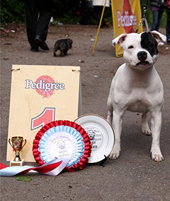 Staffordshire bull terrier Solar Wings